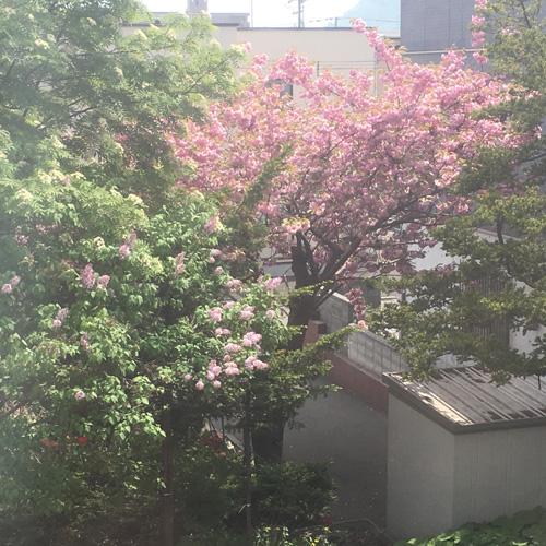 ブリッジの窓からは、ライラックと八重桜の共演を見ることができました。