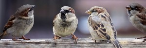 sparrows-2759978_640